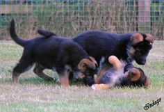 http://IndagoDogPhotography.co.uk  Mascani puppies at play