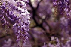 I #glicini sono meravigliosi rampicanti dai fiori profumati raccolti a grappolo. In questo articolo parliamo delle diverse varietà!