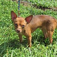 Pictures Of Merlot A Chihuahua For Adoption In Vero Beach Fl Who