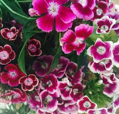 Perfect hot pink flowers