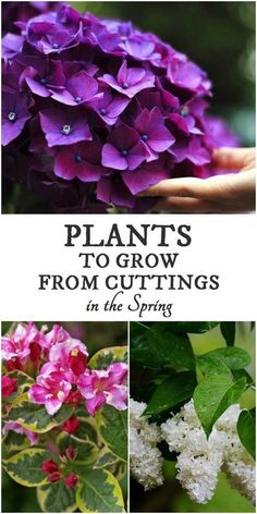 When fresh, green growth appears in spring, it is time to take softwood cuttings from deciduous shrubs, vines, and trees to grow more of your favourite plants.