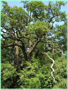 "A LETEA - ""HASMACUL MARE""  Padurea Letea este padurea-monument aflata la 7 km sud de comuna Periprava (bratul Chilia). S-a dezvoltat pe grindul cu acelasi nume, in fasii (hasmacuri); prezinta plante cataratoare de origine mediteraneana, sub forma lianelor, intre arbori specifici - stejari brumarii (seculari de peste 25 m inaltime), garnita, ulm, arin, plop alb si negru, salcie, fr Danube Delta, Romania, Places To See, Chile, Tourism, Plants, Turismo, Chili, Chilis"