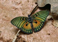 Euphaedra edwardsii, Edwards' Forester, is a butterfly in the Nymphalidae family. It is found in Guinea, Sierra Leone, Liberia, Ivory Coast, Ghana, Togo, Benin, Nigeria, Cameroon, Gabon, the Republic of Congo, the Central African Republic, the Democratic Republic of Congo and Uganda. It is found in a wide variety of habitats, from wet forests to almost open country