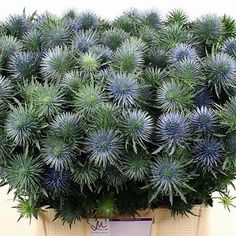 Eryngium (thistle) Magnetar Questar (length 50 cm) is a great filler for arrangements! They add texture to the overall flower arrangement! Brilliant for Winter or Autumn  weddings and events! Head over to www.trianglenursery.co.uk for more info! Great Wholesale prices!