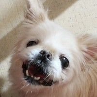 ADOPTED!!! Cute Muttville mutt: Marcel 2619 (Pekingese | Male | Size: small (6-20 lbs)) Age; 10 years
