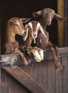 Our family goat-together.