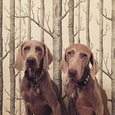 #regram @a_prawitz Fay & Olive (& Woods wallpaper) #petsandpaper #woods #woodswallpaper #dogs #treewallpaper #tapet #tapeter #papierpeint #papelpintado #wallcovering #dogsofinstagram #matchingpetstodecor