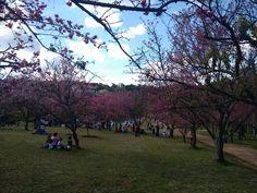 Sakura Matsuri - Festival das Cerejeiras Bunkyos - São Roque - SP - Brasil