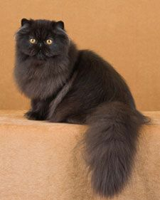 A guide to the official color divisions of the Persian cat breed.