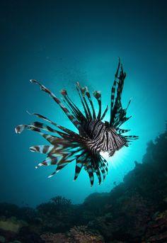 Lionfish♥