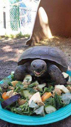 A salad for Crash the gopher tortoise!