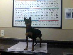 ANNIE - ID#A686953    My name is ANNIE.    I am a spayed female, black and brown Miniature Pinscher.    The shelter staff think I am about 4 years old.    I have been at the shelter since Nov 30, 2012.