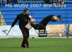impressive #german #shepherd #dog