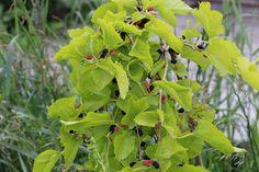 Ke konci června začíná sezona moruší. Ty moje převislé plodí jen takové minimorušky, ale uzobáváme je až někdy do konce srpna. Jsou báječně sladké. Plant Leaves, Plants, Plant, Planets