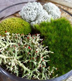 Live Moss Variety Pack Irish Moss, Reindeer Moss, & British Soldier Lichen