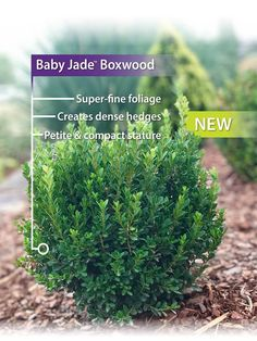 Southern Landscaping, Boxwood Landscaping, Outdoor Landscaping, Front Yard Landscaping, Spanish Landscaping, Boxwood Hedge, Small Evergreen Shrubs, Evergreen Landscape, Trees And Shrubs