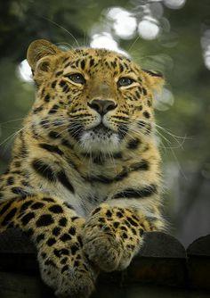 Amur Leopard (photo by Jason Brown)