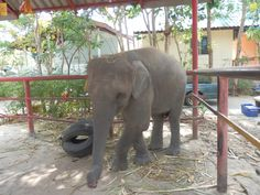 Baby elephant at the Hutsadin Elephant Sanctuary in Hua Hin, Thailand Elephant Sanctuary, Baby Elephant, Places Ive Been, Stuff To Do, Thailand, Fun, Animals, Elephant Baby, Animales