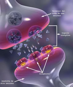 sinapsis-neuronal.jpg (627×748)