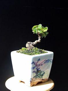 コウライヅタ(3cm) Bonsai Art, Bonsai Plants, Bonsai Garden, Bonsai Trees, Terraria Tips, Mame Bonsai, Minis, Miniature Plants, Small Trees