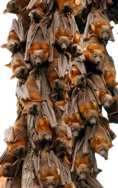 Little Red Flying Foxes. (Fruit bats)