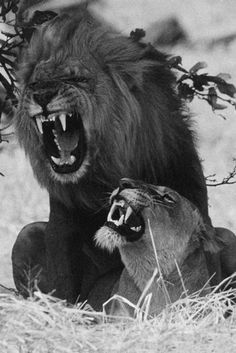 #art #lion and lioness