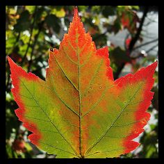 Buntes #Ahornblatt / Coloured #maple leaf    © Hans Bernhard