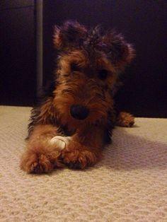 Airdale Terrier Puppy