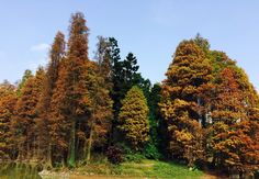 The Taxodium distichum in South China Botanical Garden, Chinese Academy of Science is turning to red.