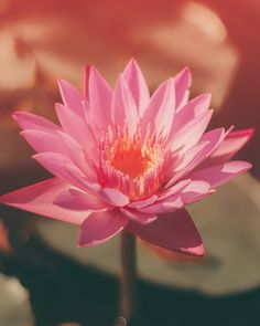 selective focus photography of blooming lotus flower during daytime photo – Free Image on Unsplash Bulb Flowers, Pink Flowers, Lilies Flowers, Nature Images, Nature Photos, Beautiful Moments, Beautiful Images, Beautiful People, Pink Lotus