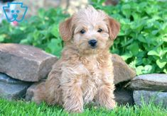 This Miniature Labradoodle puppy is a classy, little head turner who can't wait to meet you! Mini Labradoodle Puppy, Labradoodle Puppies For Sale, Miniature Australian Labradoodle, Baby Puppies For Sale, Labradoodles, Mans Best Friend, Cute Babies, Dog Lovers, Daisy