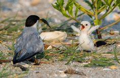 A young Least Tern welcomes its parent back at feeding time in Seaside Park, New Jersey.
