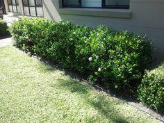 Gardenias as a hedge Hedges Landscaping, Garden Hedges, Outdoor Landscaping, Front Yard Landscaping, Back Gardens, Outdoor Gardens, Front Yard Flowers, Living Fence, Gardenias
