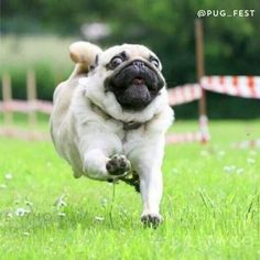 If you love all things pugs, you need to watch this video about Manchester, England's PugFest.