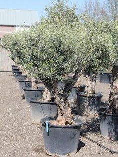 Olijfboom productinformatie   Winterharde olijfboom   Olijfboom Specialist Overloon