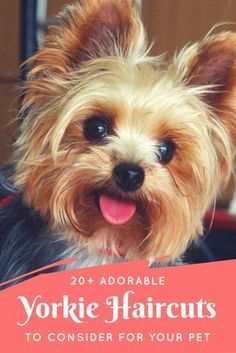 Yorkie Haircuts: darling pictures of adorable yorkie haircuts and styles for male and female yorkies to consider for your pet.