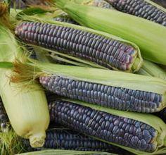 Corn, Blue Jade OG