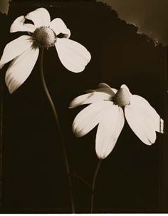 Tom Baril - Cone Flowers (2), 97. TOM BARIL - While attending the School of Visual Arts, Tom Baril began working as Robert Mapplethorpe's printer. Working closely with the photographer he developed the lush quality of Mapplethorpe's definitive works