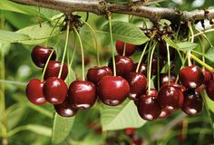 Fruitiers colonne - Häberli Fruchtpflanzen AG, Neukirch-Egnach
