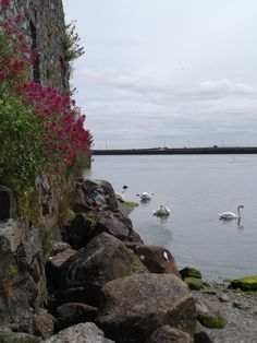 swans are THE animals of Galway - Galway, Ireland - photo by annalisa andrigo