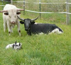 Proud papa -Corrinete family. This bull watched over his baby for weeks