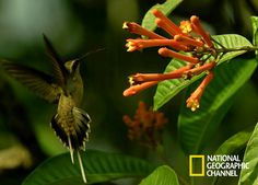National Geographic, Holiday Decor, Animals, Hummingbird, Nature, Amazons, Pictures, Animales, Animaux