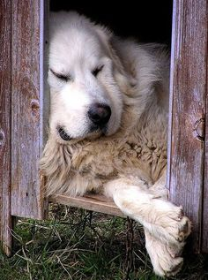 ♤cães - Awe, I miss my Great Pyrenees. Big Dogs, I Love Dogs, Cute Dogs, Dogs And Puppies, Doggies, Great Pyrenees Dog, Golden Retrievers, Tier Fotos, Mountain Dogs