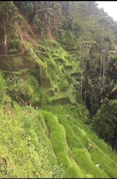 Complete guide to Tegalalang Rice Terrace in Ubud, Bali.