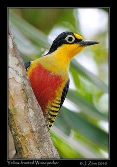 Yellow-fronted Woodpecker is found in Argentina, Brazil, and Paraguay. Its natural habitats are subtropical or tropical moist lowland forests and heavily degraded former forest.