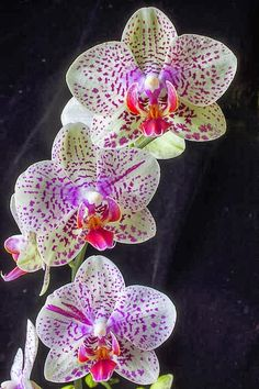 Phasenopolis, probably the most popular variety in orchids! Original from South East Asia!