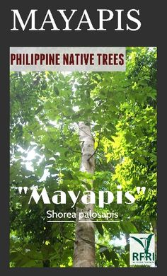 """MAYAPIS (Shorea palosapis) Mayapis is only found in the Philippines and is categorized as Critically Endangered by IUCN (2012). This native tree is great for windbreaks and soil erosion.  """"Protect our trees, our forests- our source of life!"""" #PhilippineNativeTrees #NativeTrees #Rainforestation #ForestProtection  (The Philippine Native Trees 202 Up Close And Personal, 2015)  June 30, 2016 Bike Work Stand, Forest Plants, June 30, Flowering Trees, Trees To Plant, Forests, Landscape Architecture, Philippines, Nativity"""