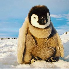 An emperor penguin chick rests near the floe edge at Cape Washington on the frozen Ross Sea. Photograph by Paul Nicklen, National Geographic Creative Wildlife Photography, Animal Photography, Travel Photography, Photography Sky, National Geographic, Delta Del Okavango, Penguin Awareness Day, Antarctica Cruise, Penguin Day