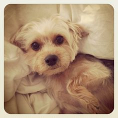 Everyone needs a Yorkie-Poo like my Obi!! | For the Home ...