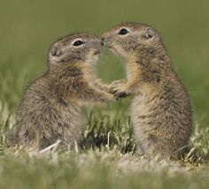 Shall we dance?: Ground squirrels appearing to kiss in the Malheur National Wildlife Refuge, Oregon